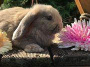 Zwergwidder Zwergkaninchen Kaninchen vom Mümmeltal