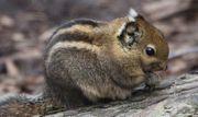 chinesische Baumstreifenhörnchen Weibchen