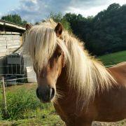 Shetland Pony , Shetty