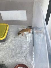 Leopardgecko Jungtiere Weibchen
