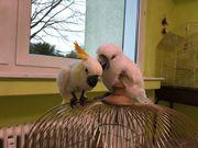Orangehauben Kakadu gegen graupapagei Papagei