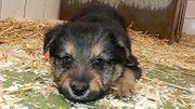 Schäferhund Mischling X Briard - Schäferhund