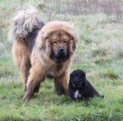 Tibetanischer mastiff Do