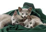 Russisch Blau Babys Katzen 2