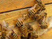 Bienenvölker/Ableger