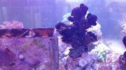 Meerwasser Tubastrea schwarz LPS