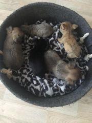 Chihuahua Alarm