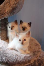 Heilige Birma Kitten,