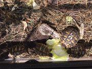 Biete Grieschiche Landschildkröten
