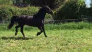Pferd Wallach 13