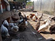 hühner zum verkaufen für ein