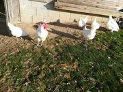Les Bleues Bresse Huhn - Eier