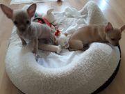 Chihuahua Welpen/Weiblich
