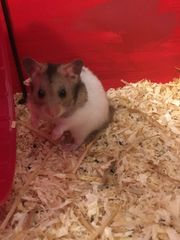 1 Hamsterbaby sucht