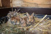 Amerikanische Kleinrex Kaninchen
