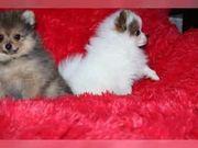 Pomeranian Zwergspitz Welpen Mini