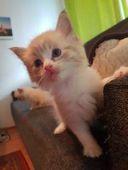 5 knuffige Ragdoll-Kitten suchen ein