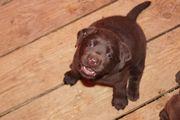 Labradorwelpen in schwarz