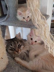 Süße Maine Coon Kitten in