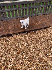Clementine eine weiße Mopshündin sucht