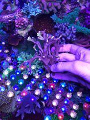 Montipora bubblegum groß