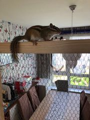Asiatisches Streifenhörnchen Zu Verkaufen