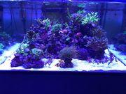 Meerwasser Steinkorallen SPS Korallen Ableger