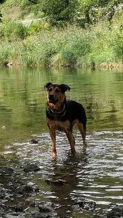 Rottweiler-Weißer-Schweizer Schäferhund