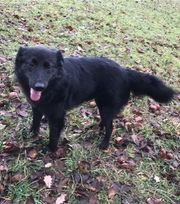 Charly - 3 Jahre - Border Collie -