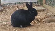 Kaninchen Josi männl kastr 1