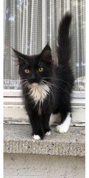 Baby Katzen Britisch lang Haar