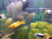 Aquarium Fische 3 Stück 1