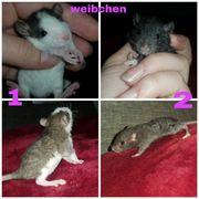 REX Ratten Babys - Ratten im
