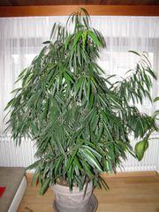 Ficus Alii Oleanderfeige