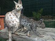 Savannah F2 Kitten