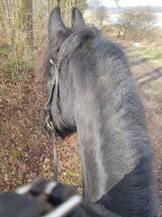 Suche Reitbeteiligungs Pferd