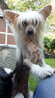 Chinese Crested aus