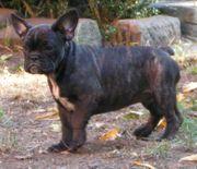 Franz Bulldogge - Rüde