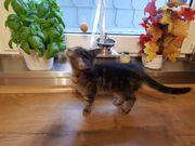Junges Kätzchen Maincoonmix