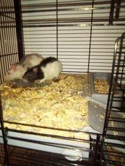 2 Rattenmädels