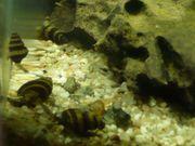 Raubschnecken Aquarium