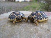 Griechische Land-Schildkröte Thh -Lokalform Toskana