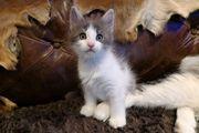 Pebbles - Maine Coon Kätzchen mit