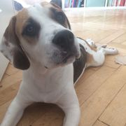 Beagle Puggle Mischling 8 Monate
