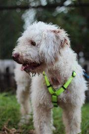 Nelson - Wasserhund-Mix Rüde aus dem