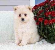 Entzückende Zwergspitz Pomeranian Welpen zum