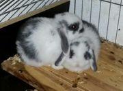 Mini Lop Kaninchenbabies