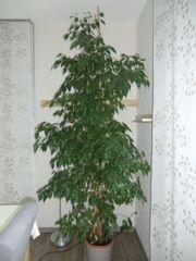 Ficus Benjamini ca.