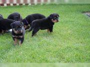 6 Rottweiler -Rüde Hündin suchen