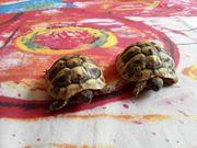 2 griechische Landschildkröten